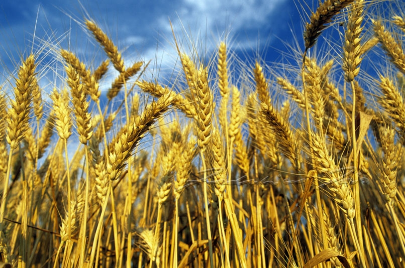 Cereali bloccati a Ravenna perché tossici. E in Sicilia che succede con il grano?