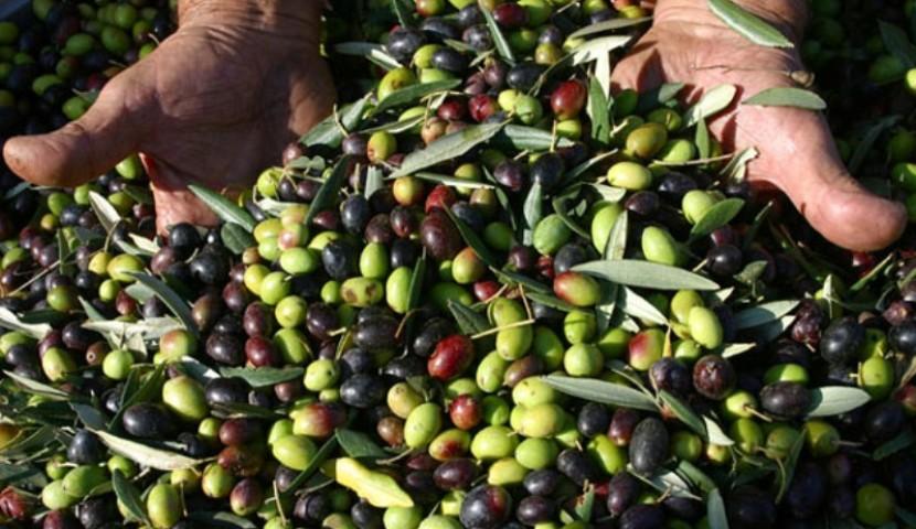 Sì del Parlamento Europeo alla truffa dell'olio d'oliva 'extra vergine' tunisino