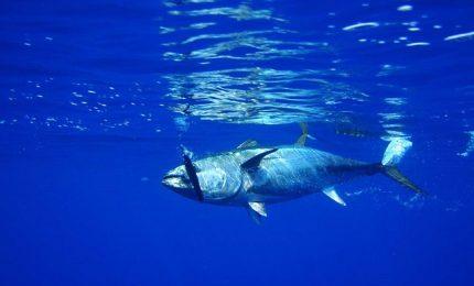 Dopo agrumi e olio d'oliva, la UE penalizza anche i pescatori siciliani impedendogli di pescare i Tonni del Mediterraneo