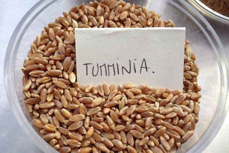 La crisi del grano duro siciliano: ma Stato e la Regione dove sono?
