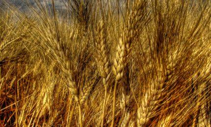 Crisi del grano/ Che fine hanno fatto i 175 pastifici siciliani?