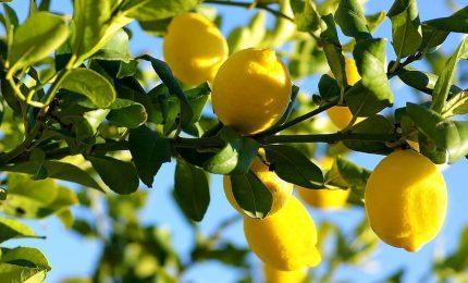 A Palermo i limoni a 3,5 Euro al chilogrammo e, per giunta, di pessima qualità. Com'è possibile?