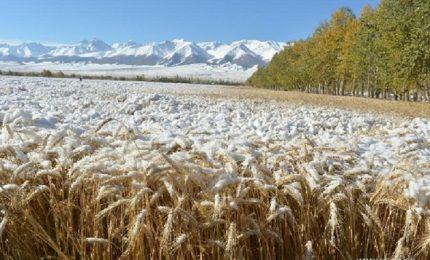 Ecco a noi il grano canadese coperto di neve pronto per essere esportato in Sicilia!