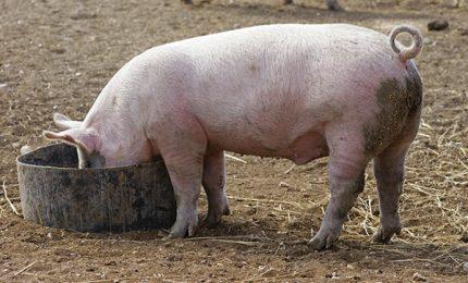 """""""Quello che non possono mangiare i maiali canadesi lo fanno mangiare noi italiani"""""""