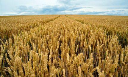 La 'sviolinata' della Regione sui grani antichi: e dei problemi veri? Prezzi bassi, micotossine, glifosato? Nulla!