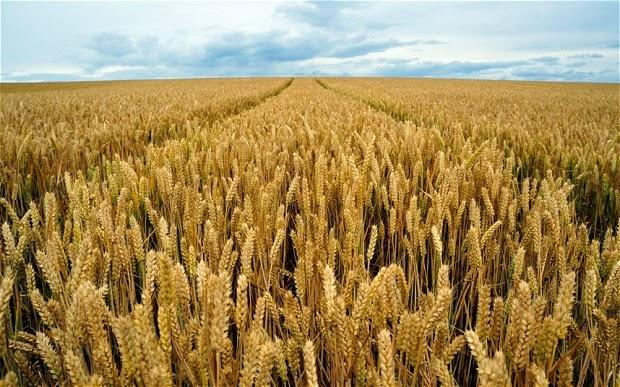98abe42ff2 La 'sviolinata' della Regione sui grani antichi: e dei problemi veri? Prezzi