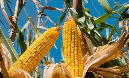 Il glutine? E' un problema. Ma è con il mais OGM che il glifosato può invadere le nostre tavole