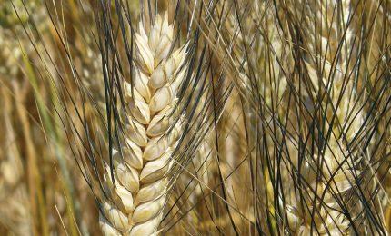 Indagine Doxa sul grano: per tanti italiani quello importato non va bene
