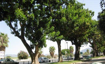 Palermo, il Comune vuole sradicare anche gli alberi del Foro Italico