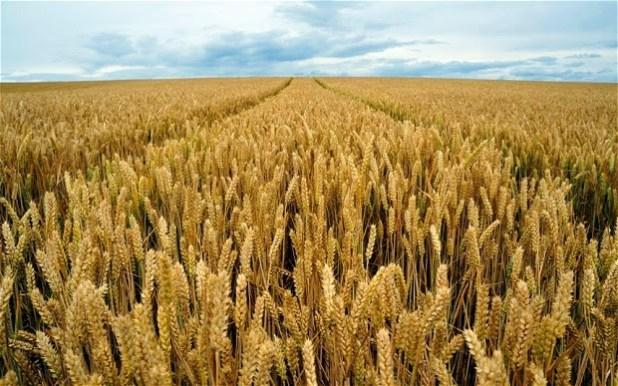 """Pasta siciliana 7  """"La Sicilia deve puntare sui grani duri antichi  coltivati in biologico 58fce2e32894"""