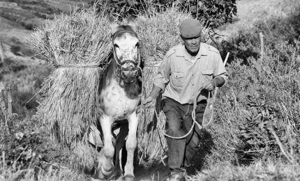 L'inghippo del grano Tumminìa: vogliono imporre le royalties agli agricoltori siciliani?