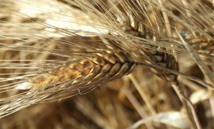 Un marchio per il grano duro del Sud per dire basta ai grani esteri contaminati da glifosato e micotossine