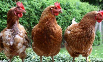 Il batterio della Salmonella nelle galline di Motta Sant'Anastasia. Come mai?