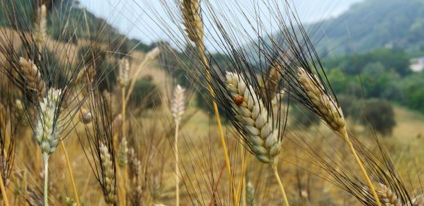 Ai bolognesi il grano Senatore Cappelli: chi vuole i semi certificati deve passare da loro!
