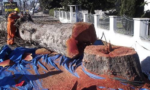 Gli alberi abbattuti a Palermo: si scoprono i primi 'altarini' del Comune. Una ditta privata che…
