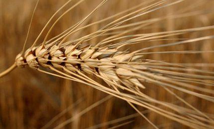 Crisi dell'agricoltura siciliana: stato di crisi e aiuti per tutti, tranne che per il grano duro!