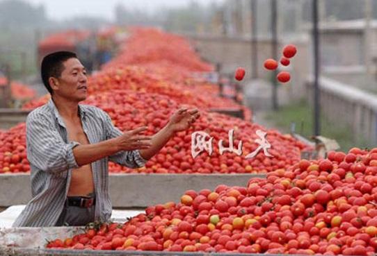 Che passata di pomodoro arriva sulle nostre tavole? L'esempio di Valledolmo dove…