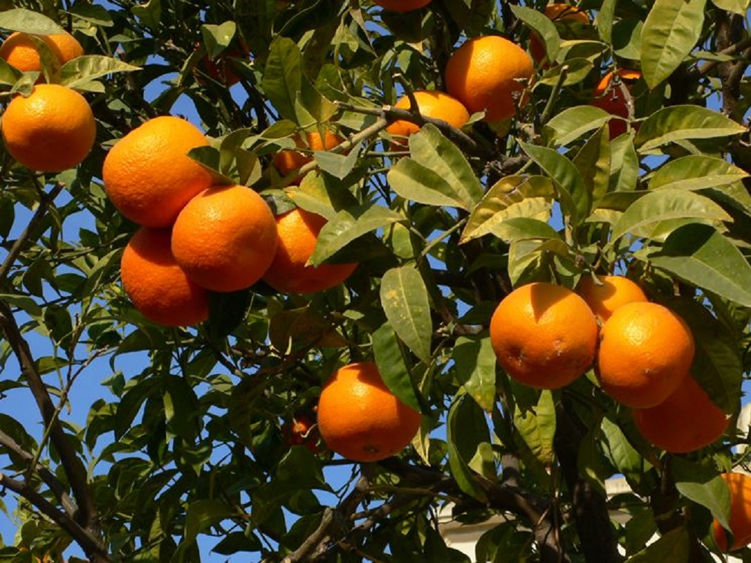 Agrumi: la Sicilia ha tra le mani un affare miliardario. Si chiama limonene e si trova nelle bucce delle arance. Ma…