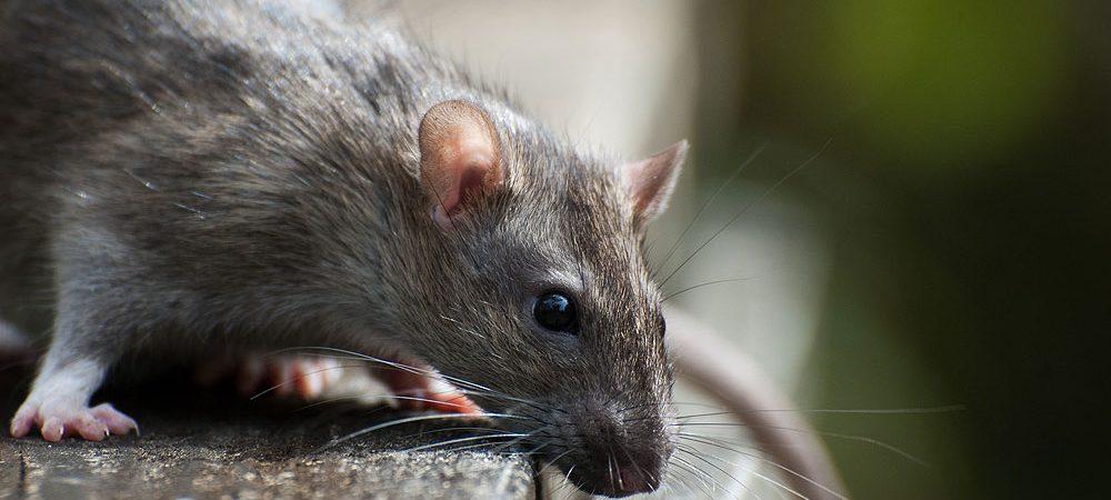 A Catania i topi hanno danneggiato le valvole per l'apertura e la chiusura degli impianti irrigui (VIDEO)
