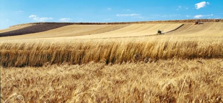 Grano duro contratti di filiera in sicilia piacciono for Da dove proviene il grano della barilla