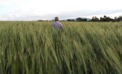 Privatizzazione del Senatore Cappelli e 'assalto' ai grani antichi siciliani: al via la colonizzazione dell'agricoltura del Sud