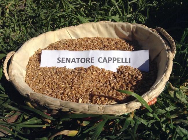 La 'privatizzazione' del grano Senatore Cappelli? E' un segreto di Stato! Pronto il ricorso al TAR