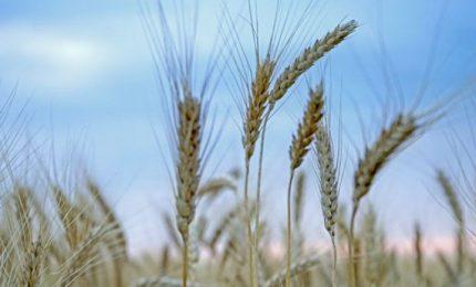 Sullo scippo del grano Senatore Cappelli agli agricoltori del Sud si 'rompono i telefoni' tra grillini e Lega