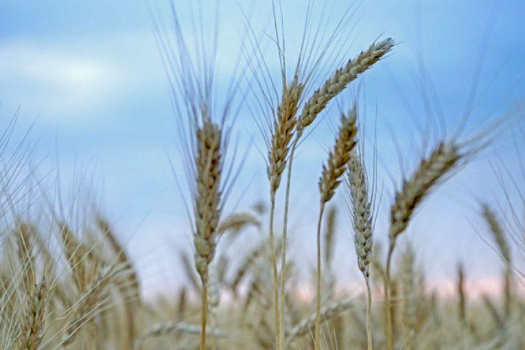 dettagliare ufficiale a basso costo Sullo scippo del grano Senatore Cappelli agli agricoltori del Sud ...