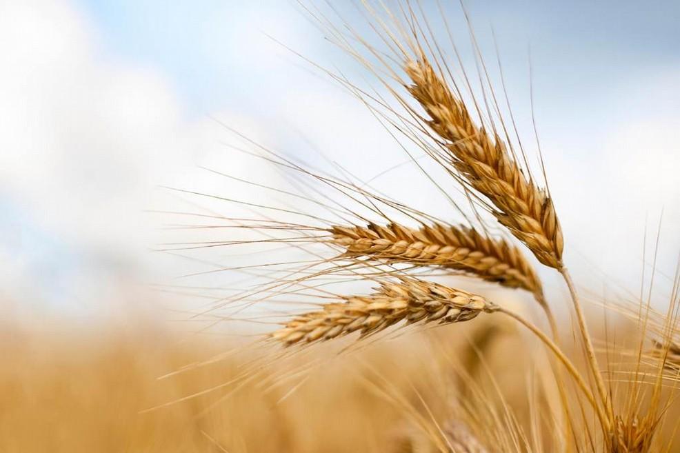 A Roma hanno deciso di ridurre la coltivazione di grano duro biologico nel Sud. Per favorire chi?