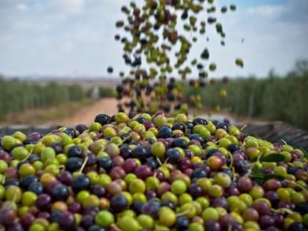 I misteri dell'olio d'oliva tunisino che arriva in Sicilia: va tutto negli USA e in Asia. Possibile?