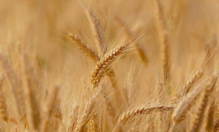 Grano duro in 'bio': la vittoria degli agricoltori della Sicilia e del Sud
