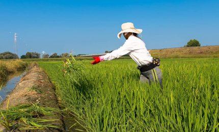 La 'gioia' dei grillini: stop all'invasione del riso del Sud-Est asiatico! E l'invasione del grano duro estero nel Sud?