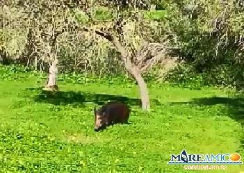 L'ultima ad Agrigento: cinghiali liberi nella Valle dei Templi... (VIDEO)