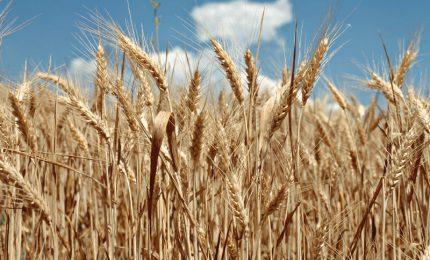 Cari siciliani, ci fanno mangiare il grano canadese e non ci dicono nulla!