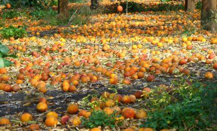 Le clementine del golfo di Taranto lasciate marcire sugli alberi. E in Sicilia...