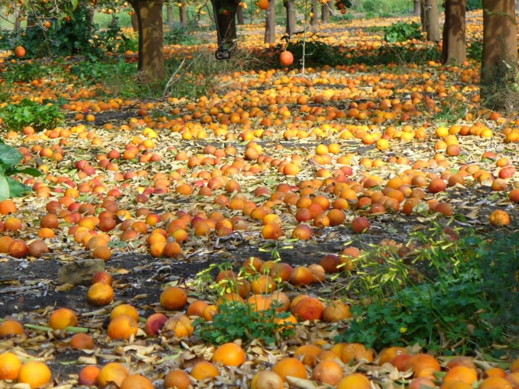 Le clementine del golfo di Taranto lasciate marcire sugli alberi. E in Sicilia…