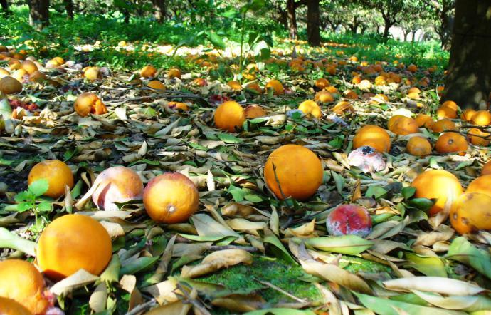 L'agricoltura siciliana è al collasso: ma il presidente Musumeci pensa al Ponte di Messina!