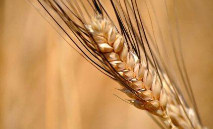 Cari agricoltori, la vecchia politica siciliana vi può solo affossare non aiutare/ MATTINALE 314