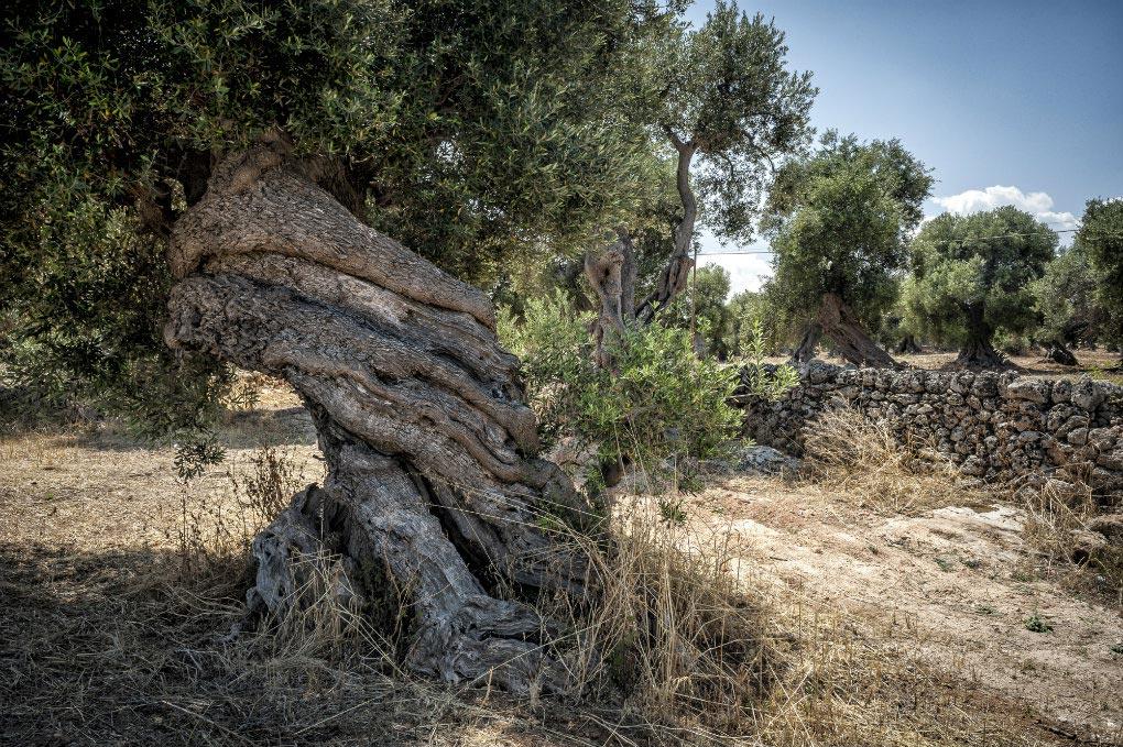 Crisi dell'agricoltura in Puglia: Emiliano s'arruspigghiò mentre il senatore De Bonis attacca sulla Xilella