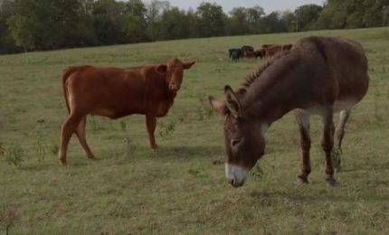 Tutti preoccupati per due mucche sull'autostrada. E degli asini della politica siciliana ne vogliamo parlare?
