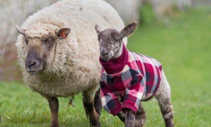 I cappottini per cani? Meglio utilizzarli per proteggere gli agnellini dalle volpi