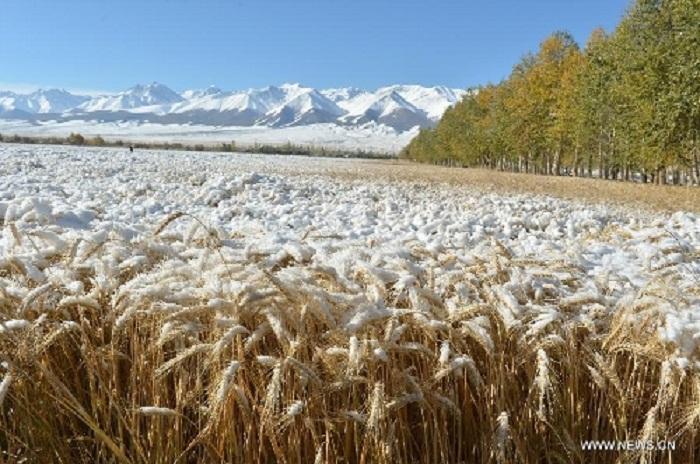 Il maltempo ridurrà drasticamente la produzione di grano duro canadese? /MATTINALE 272