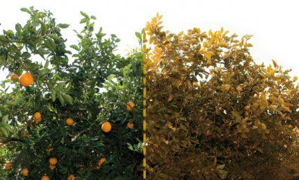 200 milioni di euro per la Xilella in Puglia, zero euro per la Tristeza degli agrumi in Sicilia