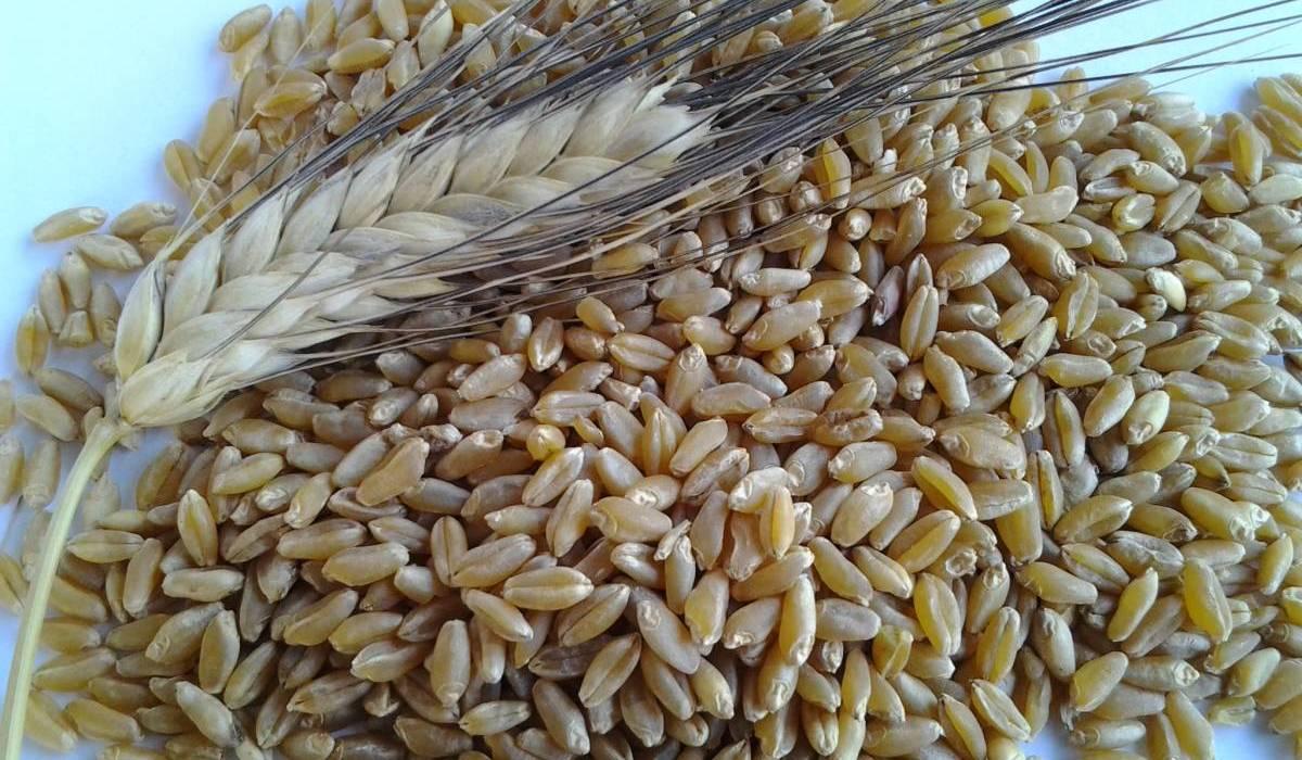 Prezzo del grano duro in aumento in tutto il Sud (tranne che a Palermo)/ MATTINALE 353