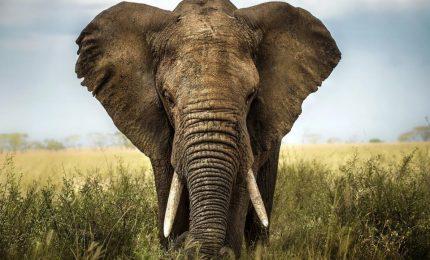Per tutelare gli elefanti il Giappone deve smantellare il suo fiorente mercato dell'avorio