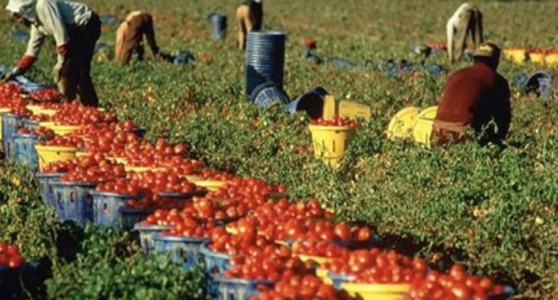 Raccolta del pomodoro: lo sfruttamento del lavoro voluto dall'elite globalista. Ma anche altro…