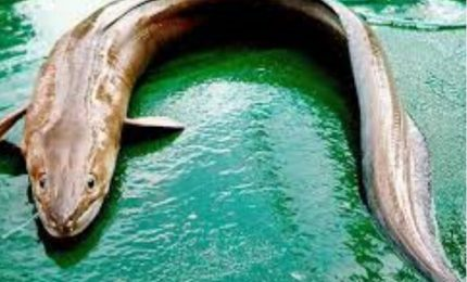 A Pantelleria pescato un grongo di 31 kg lungo oltre due metri