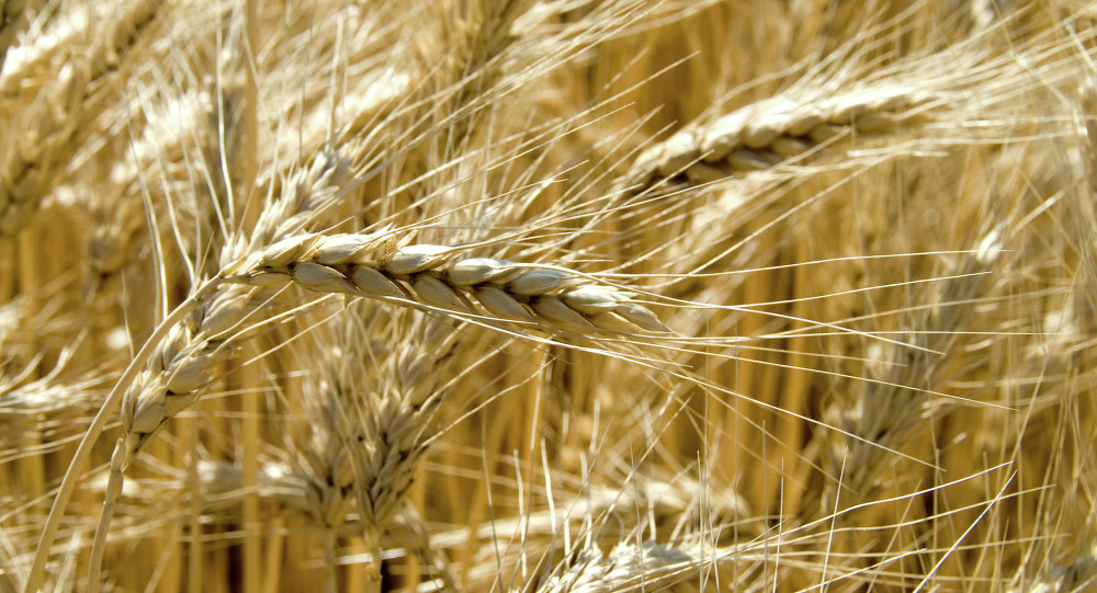 Ricordate il grano duro arrivato a Pozzallo nei primi giorni di agosto? Ce l'hanno fatto mangiare a umma umma…