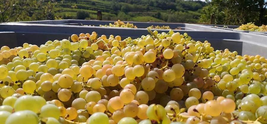 La crisi dell'uva da vino della Sicilia e la 'gara' per non vedere i danni provocati dalla UE all'agricoltura siciliana