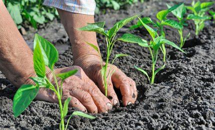 Chi ha deciso di ridurre del 90% e oltre i fondi per il sostegno all'agricoltura biologica siciliana?/ MATTINALE 396